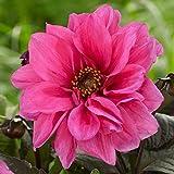 3 Bulbs Dahlia Peony-Flowered Fascination