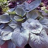 "hosta ELEGANS large sieboldiana blue disease-free 3"" pot ☆1 Live Potted Plant☆"