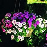 Free Shipping 100 Periwinkle seeds , Mix Color Vinca (Catharanthus roseus) , a perfect bank cover behind your house, evergreen