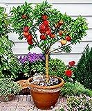 10 Seeds Dwarf Peach Fruit Tree Indoor/Outdoor