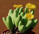 Conophytum Bilobum, Sold By EXOTIC CACTUS Rare Mesemb Semi Rock Living Stones Seeds 30 Seeds
