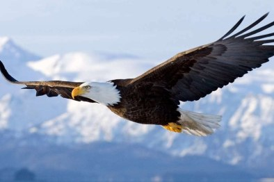 Amazon.com: Bald Eagle Flying - Art Print Poster, Wall Decor, Home ...