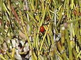 10 Ephedra Nevadensis (Mormon Tea) Seeds, Nevada Jointfir