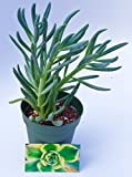 Fat Plants San Diego Succulent Plant(s) Fully Rooted in 4 inch Planter Pots with Soil - Real Live Potted Succulents/Unique Indoor Cactus Decor (1, Senecio mandraliscae aka Blue Chalk Stick)