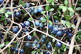 Rare seeds Coprosma Propingua -New Zeeland Mingimingi fruits - 3 fresh seeds