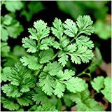 Coriander Leisure (Long Standing) Seeds- Tender leaves are delicious in SALSA!!!(50 - Seeds)