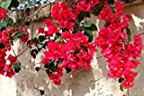 Bougainvillea - 'San Diego Red'