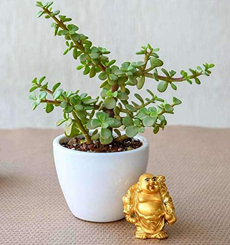 Abana Homes® Valentine Gift Good Luck Jade Plant in Ceramic Pot