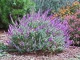 Salvia leucantha SALVIA Seeds!