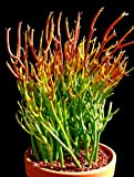 "Fire Sticks Pencil Cactus - Euphorbia - Easy to grow - 6"" Pot"