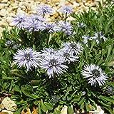 VISA STORE Seeds - Globularia Seeds