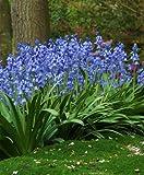 25 HYACINTHOIDES HISPANICA (Blue) Wood Hyacinth or Spanish Bluebells, perennials