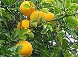 Hardy Orange seed (Poncirus trifoliata) a.k.a Chinese Bitter Orange,Hardy zone 5(100 Seeds)
