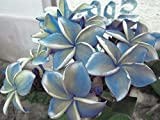 """""""BLUE ALBA"""" FRAGRANT PLUMERIA'S CUTTING WITH ROOTED 7-12 INCHES REGISTERED TRACK ONLINE 100%GUARANTEE SATISFICATION AND ..."""
