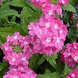 Outsidepride Verbena Rose - 1000 Seeds