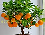 ! LOSS PROMOTION SALE! 20 pcs bonsai orange seeds NO-GMO mini bonsai tree Balcony Patio Potted Fruit Trees Kumquat Seeds Tangerine Citrus