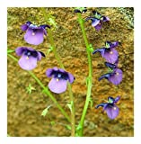 Diascia veronicoides - twinspur - 10 seeds