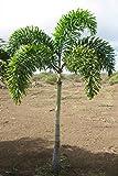 5 Foxtail Palm seeds, ( Wodyetia bifurcata )