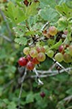 -Red- PIXWELL GOOSEBERRY Great in Pies, Jams Jelly & Fresh 15+Seeds by seeds-a-plenty