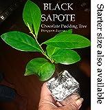 ~BLACK SAPOTE~ Chocolate Pudding Tree Diospyros Digyna BIGGER NICER Potd Plant