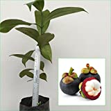 """1 Mangosteen Tree Tropical Plant 20"""" Tall Garcinia mangostana Queen of fruit Direct from Thailand Free Phytosanitary Cert."""