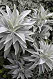 50 Seeds White Sage Artemisia Ludoviciana Seed Make Smudge Sticks Magic Indian Herb