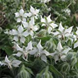 Outsidepride White Borage Herb Plant Flower Seeds - 1000 Seeds