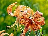 5 Orange Tiger Lily Bulbs-- Tigrinium Splendens End of Season Closeout!