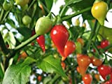 Red Biquinho Pepper ,10 Seeds (CAPSICUM CHINENSE) Brazilian Heirloom Pepper !