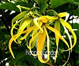 100 Pieces/Bag New Fresh Seeds Cananga odorata, Ylang-Ylang Tree, container or indoor plant flower seeds
