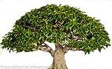 Antidesma acidum 12 Seeds Bonsai - Deck Gardens Rare! Purple Flower Clusters