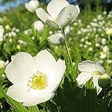 150 Canada Anemone Native Wildflower Seeds