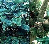 Tree Seeds - 10 Seeds of Elephant Ear Fig Tree - Ficus auriculata