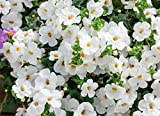 6 bacopa seeds SNOWTOPIA trailing evergreen plant, nice white blooms