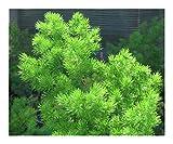 Asparagus retrofractus - Ming Asparagus Fern - 10 Seeds