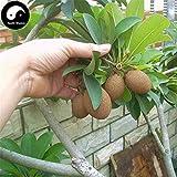 Rare Grevillea Planting Fruit Trees Buy Rare Sapodilla Fruit Tree Semente 60pcs Plant Heart Fruit for Manilkara Zapota
