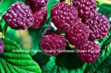 Royalty Purple Raspberry - Huge 2 Yr.