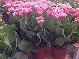 Succulent plant Kalanchoe Blossfeldiana pink. This Kalanchoe blooms year round.