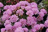 Armeria Bulk Seeds Thrift Sea Pink Sea Cushion Plantain Thrift Garden Flower