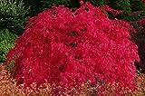 SCARLET PRINCESS DWARF JAPANESE MAPLE - A NEW RED VARIETY - Acer palmatum 'Scarlet Princess' - 1 - YEAR TREE