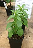 Stevia Plant Seeds, Alternative to sugar,40 times sweeter than sugar,Perennial !(500 Seeds)