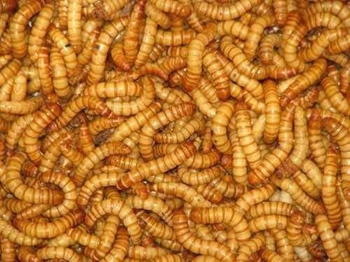 Bulk Live Mealworms - 500 count (Large - 1')