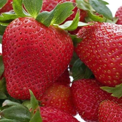 24 Honeoye Strawberry Plants High-Yielding Zone 4-8