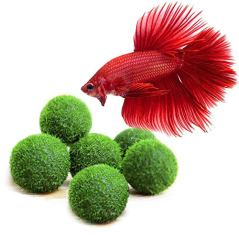 6-Nano-Betta-Balls-Live-Round-Shaped-Marimo-Plant-Natural-Toys-for-Betta-Fish-for-Hiding-Rolling-Nibbling-Pet-Safe-Cleans-Aquarium-Water-Adds-Aesthetic-Value-to-Betta-Bowls-Jars