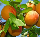 """6-12"""" Sweet Apricot Tree Potted Plant, Nice Starter Plant, Nice Addition to Your Garden, Simply Gourgeous Flowering Perenial"""