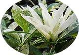 THAI SNOW Ixora Tropical Live Plant Rare Hybrid Variegated Leaves White Flowers4 Inch Pot Starter Size Plant Emerald tm