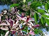 10 Chinaberry, Melia Azedarach, Tree Seeds (Fast, Showy, Fragrant)