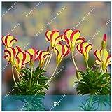 ZLKING 2pcs True Oxalis Flower Bulbs Rare Oxalis Versicolor Candy Cane Sorrel Flower Rotary Grass Pot Home Garden Plant Bonsai 4