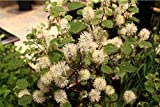 3 Bare Root of Fothergilla Major 'Mount Airy'