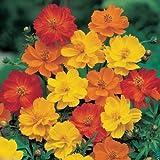 1000 Cosmos sulphureus Seeds - Bright Lights Mix - Yellow/Orange/Red